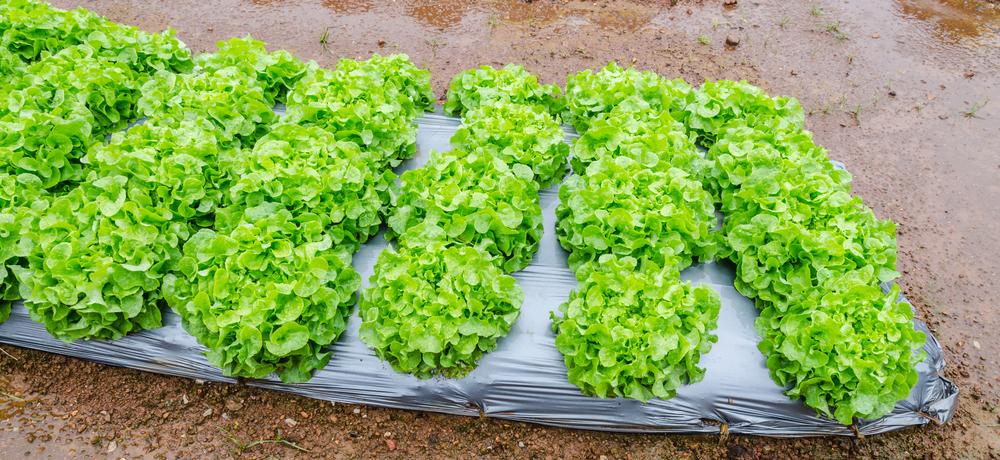 овощи в вертикальных фермах