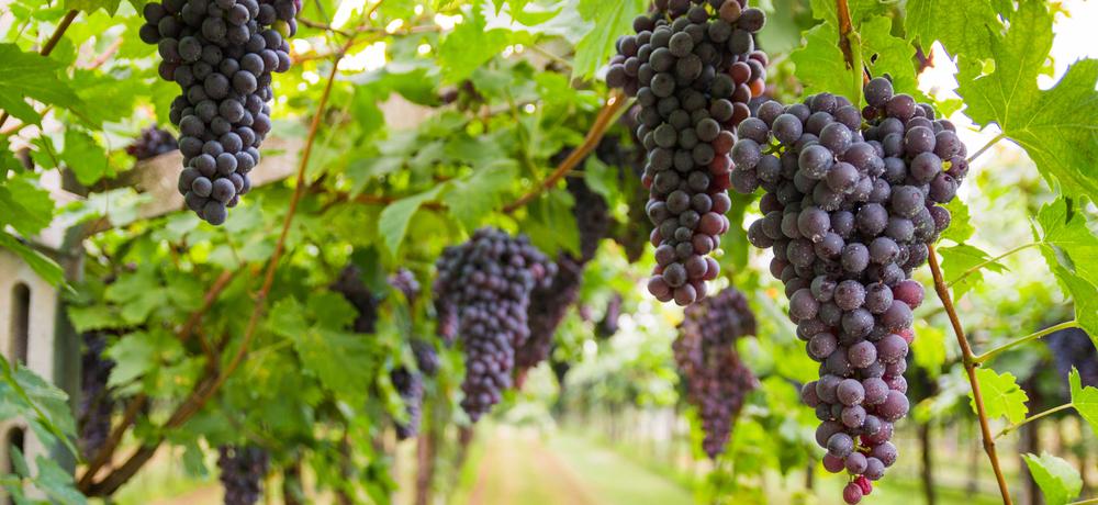 садоводческой и виноградарской отраслей