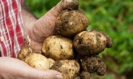 Средства для защиты картофеля от фитофтороза