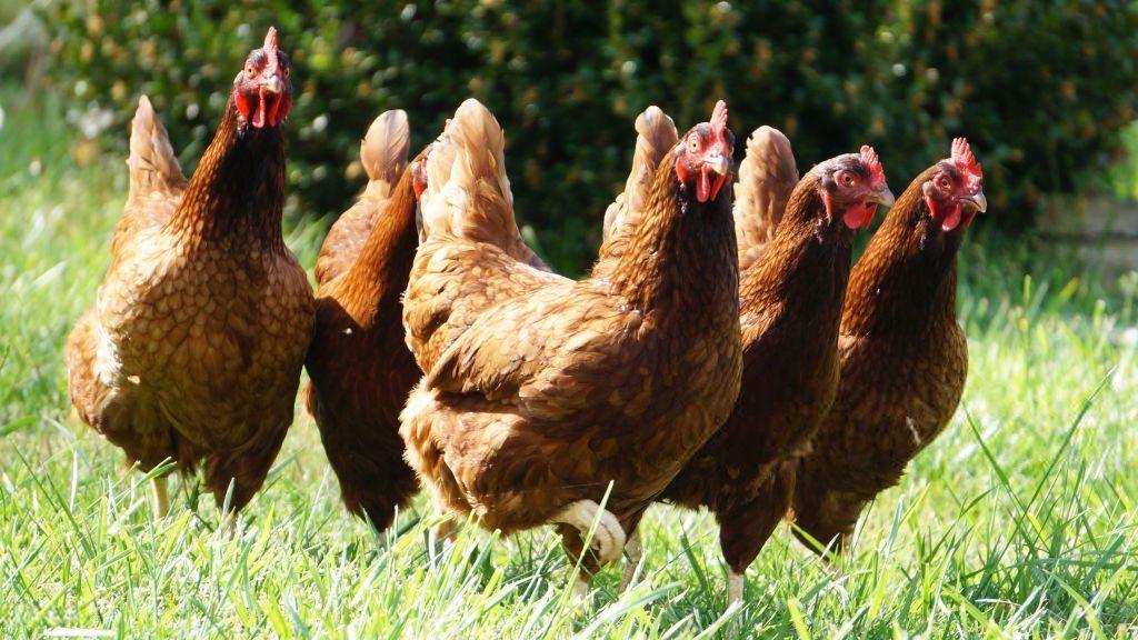 покупатели украинской курятины