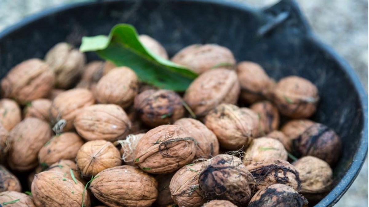 выращивать орех