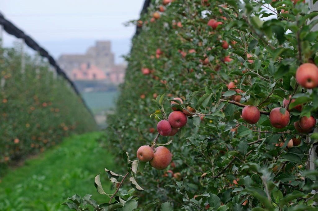 Раннее яблоко