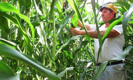 выращивание гмо кукурузы