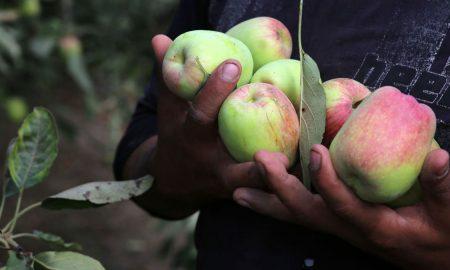 яблоки нового урожая украина