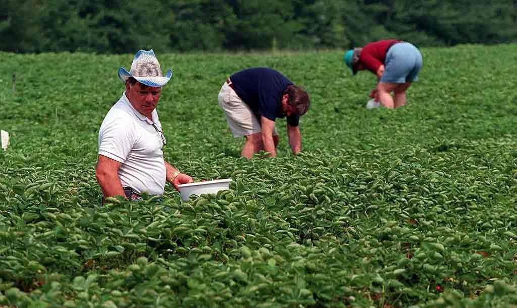 собирать урожай ягод