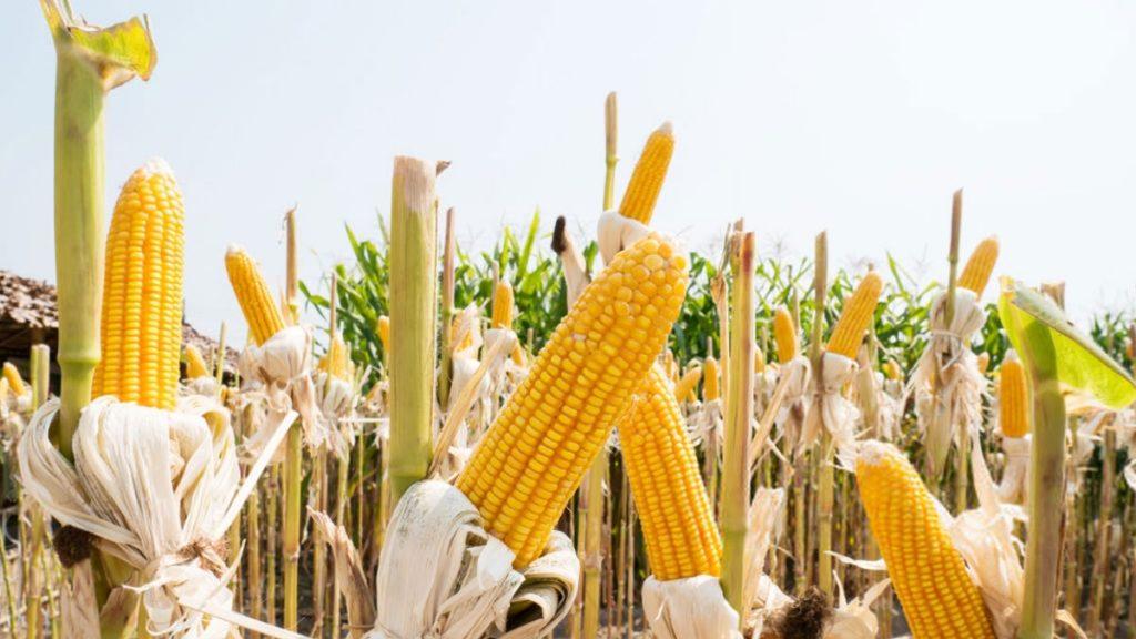 производство кукурузы