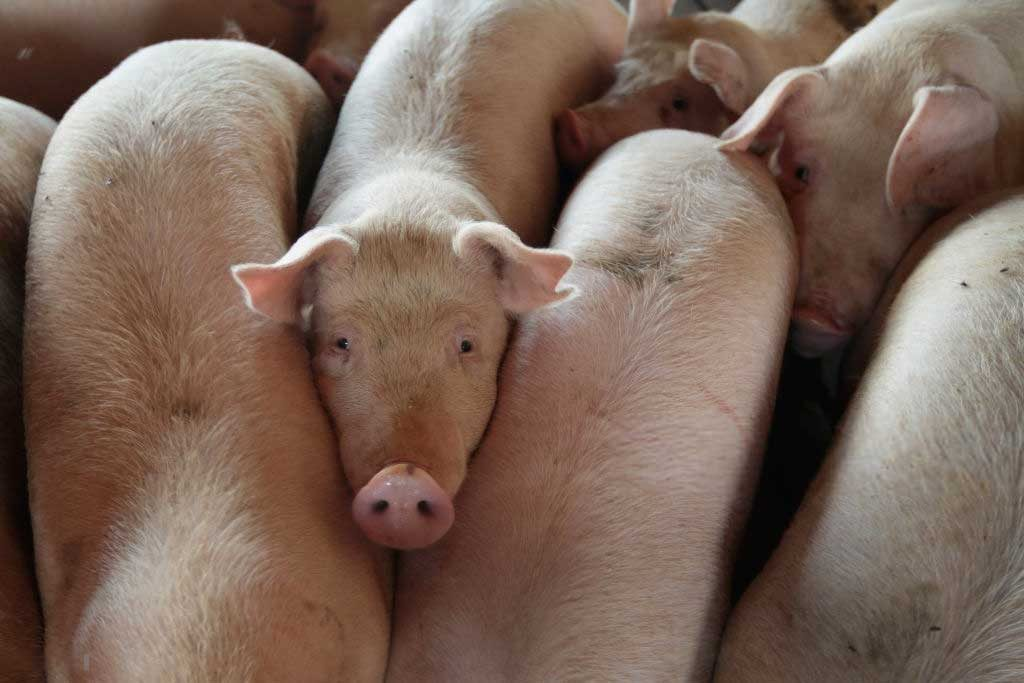 Цена на свиней в живом весе