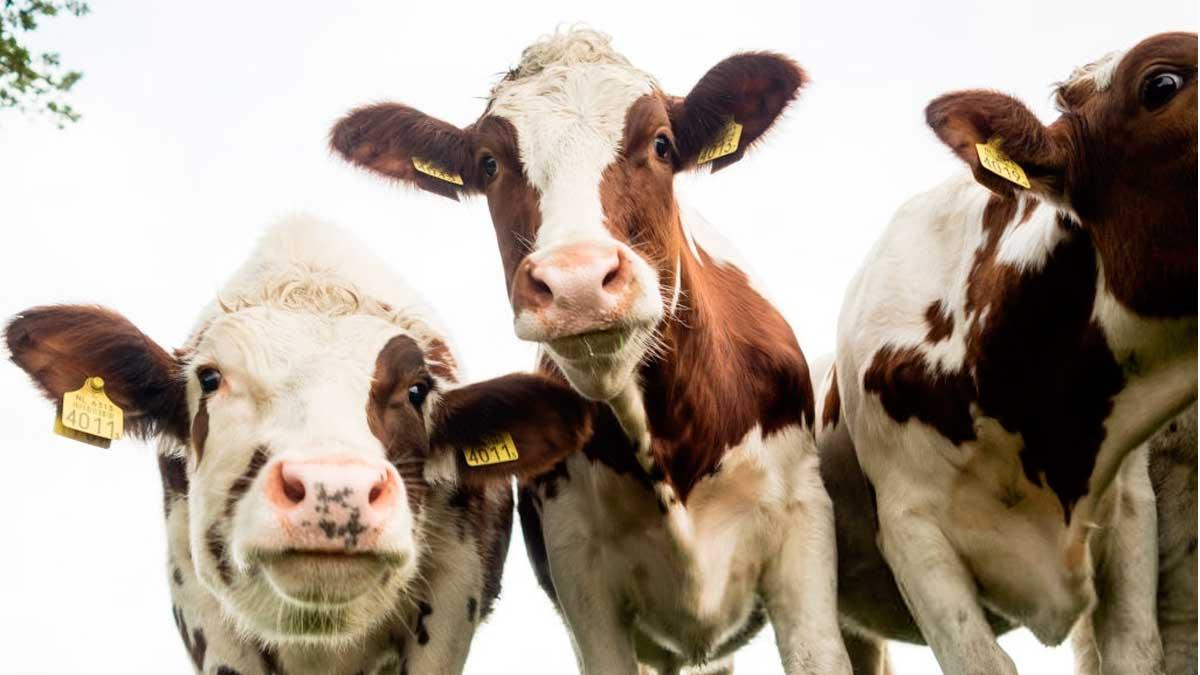 применения антибиотиков в животноводстве