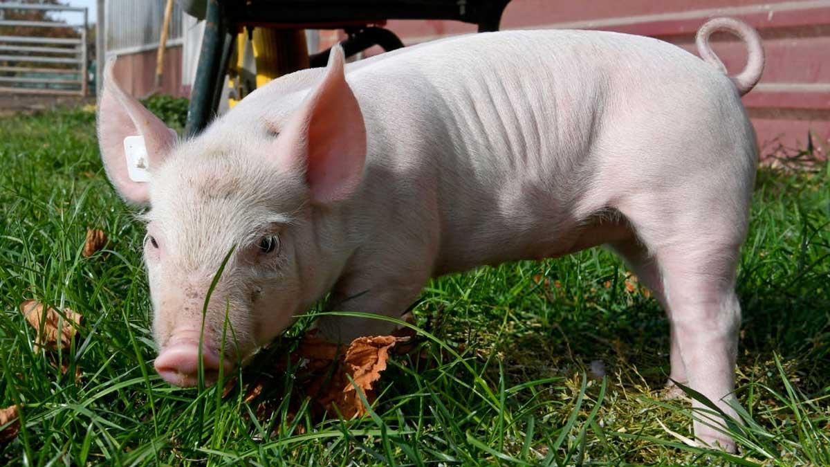 Стоимость живца свиней