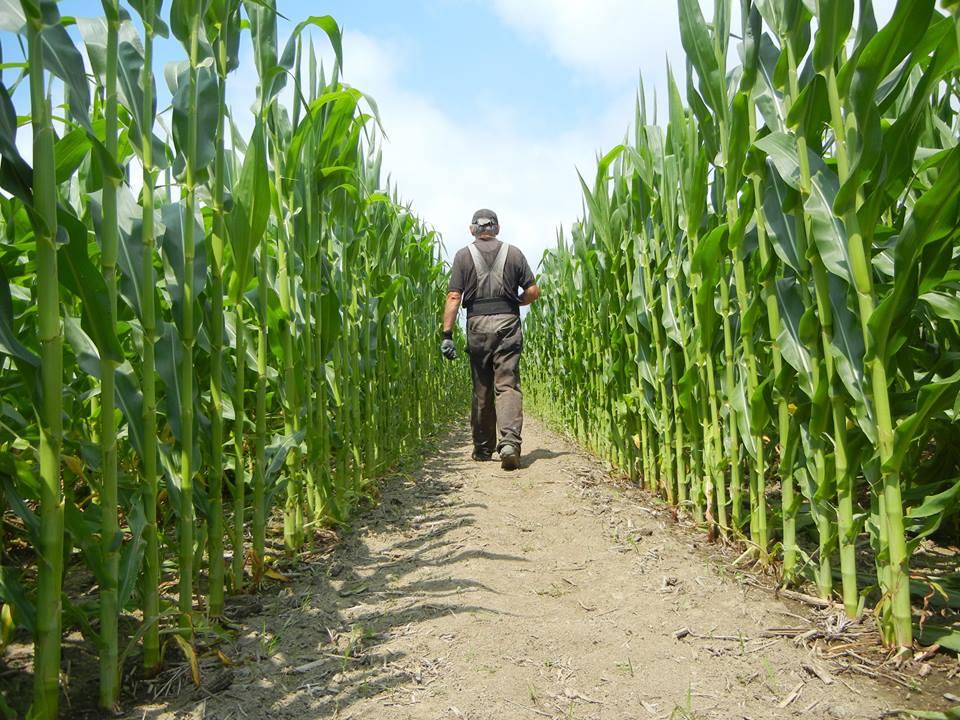 Монсанто семяна кукурузы