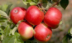 Экспорт яблок Украина