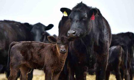 Особенности украинского рынка говядины