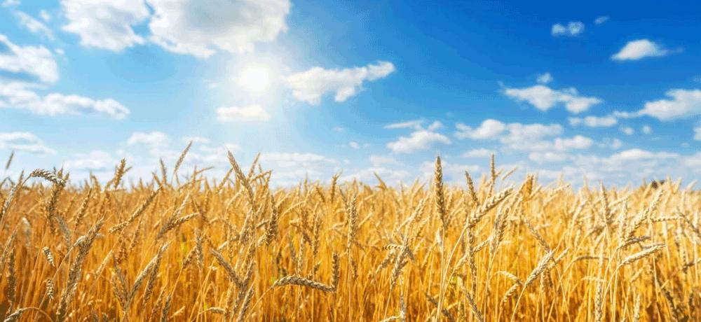 цены пшеницы нового урожая