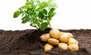 переработка картофеля
